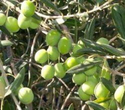 100 milyon olan zeytin ağacı sayısı 172 milyona çıktı