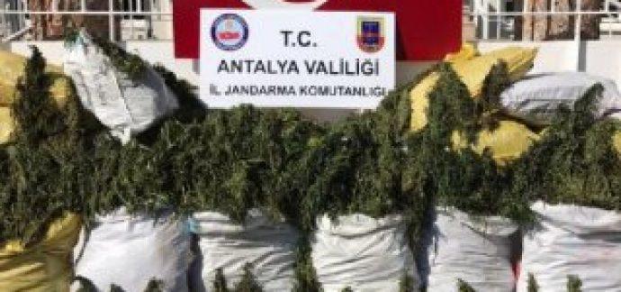 Alanya'da 247 kilo esrar yakalandı