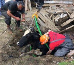 Bolu'da kuyuya düşen inek kurtarıldı