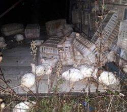 Bolu Dağı'nda devrilen kamyondaki tavuklar telef oldu