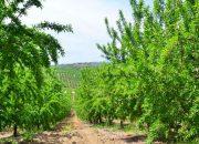 Boş palamut arazileri badem bahçesi oldu