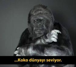 Bu Goril Koko İnsanlara mesajı var o konuşabiliyor ( İşaret Dili biliyor )