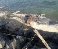 Ölü beyaz balina kıyıya Hatay'da vurdu