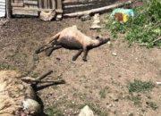 Sakarya'da kurtlar 14 koyunu telef etti