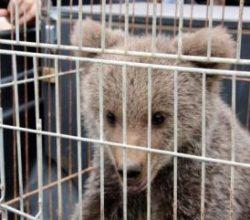 Şehir merkezine inen ayı yavrusu koruma altına alındı