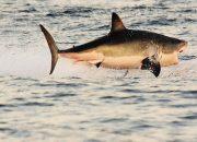 Yunan balıkçılar, Ege'de 7 metrelik köpekbalığı yakaladı